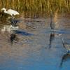 Pool of Little Blue herons at Assateague Island National Seashore