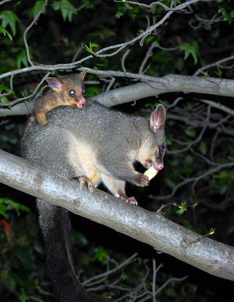 Mammals, Marsupials and Monotremes