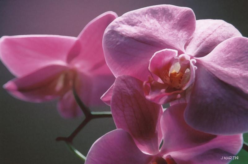 orchid study 4 4-6-2008.jpg