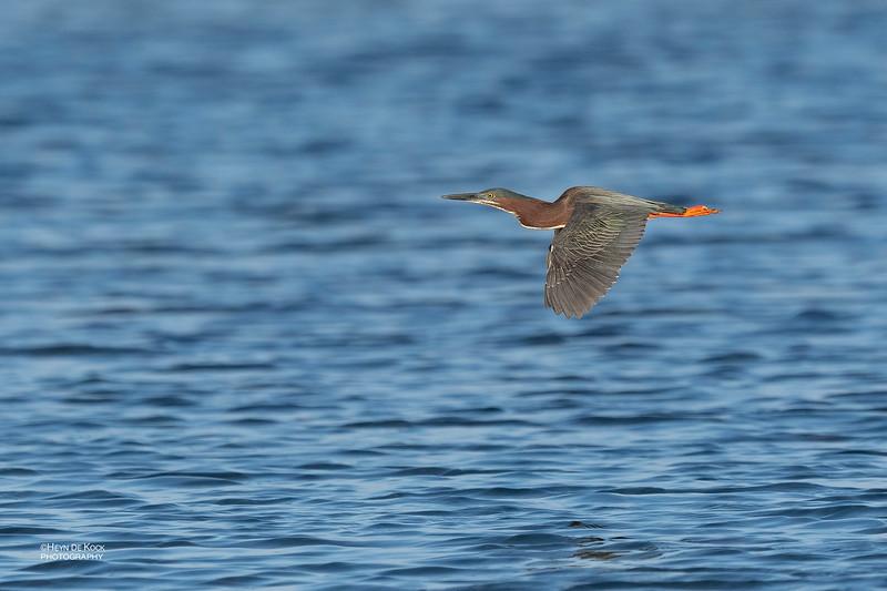 Green Heron, Fort De Soto, St Petersburg, FL, USA, May 2018-1.jpg
