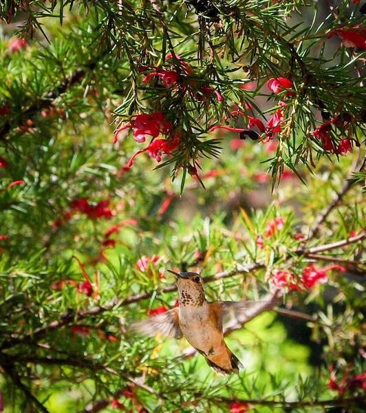 allans-hummingbird-grevillea-imgp7670_17003519941_o.jpg
