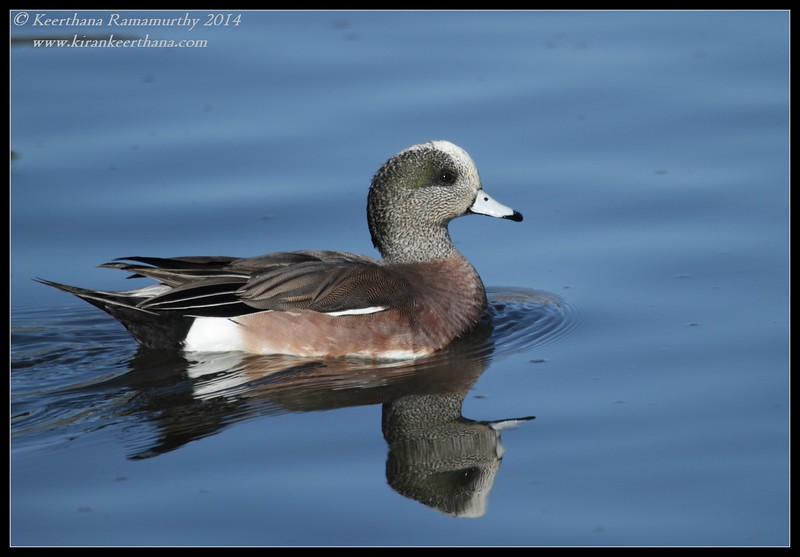 American Wigeon male, Santee Lakes, San Diego County, California, February 2014