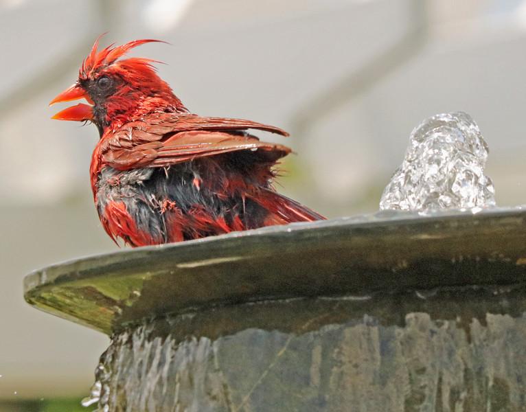 Cardinal in fountain