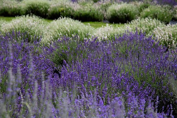 White Oak Lavender, June 27, 2013