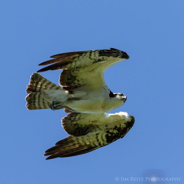 Osprey fly-by - Bainbridge Island, WA