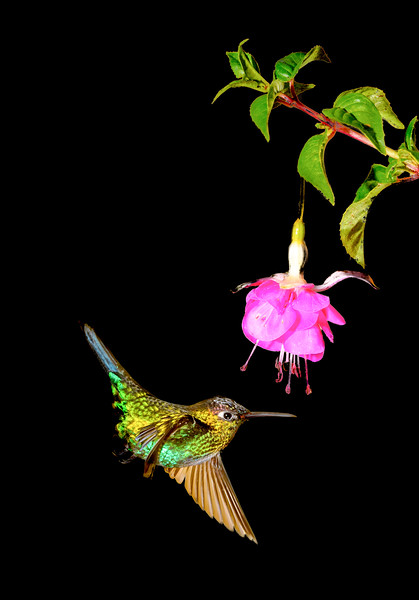 Flying hummingbird  trying to eat nectar from pink flower