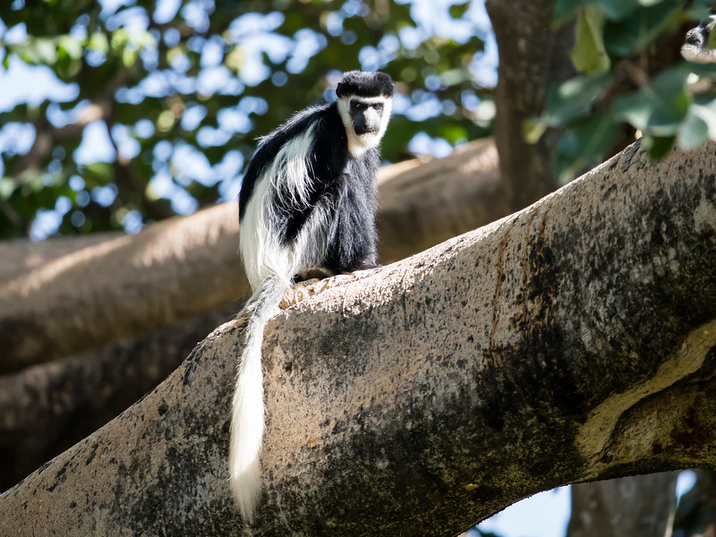 Mantled Guerza (Black-and-white Colobus)