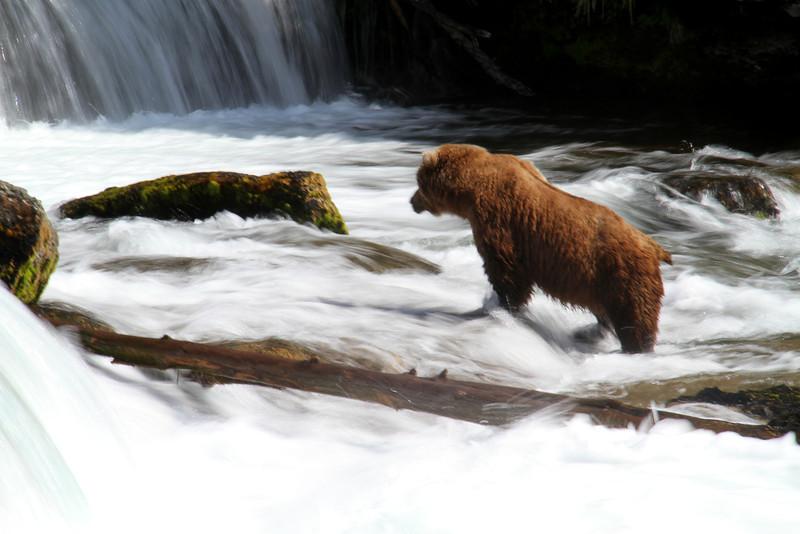 Katmai Bear13.jpg