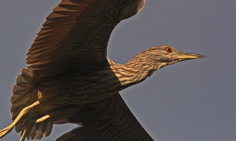 WB~Rookery night heron juvenile1280.jpg