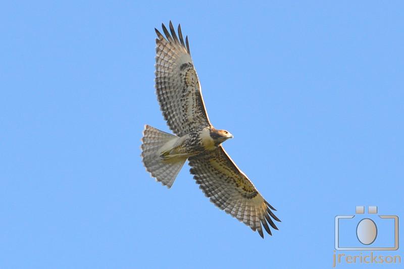 Robison's Hawks