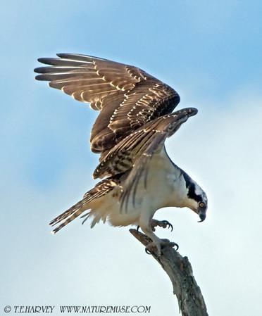 Ospreys-I