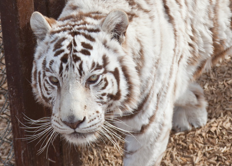 8123 White Tiger Close Up.JPG