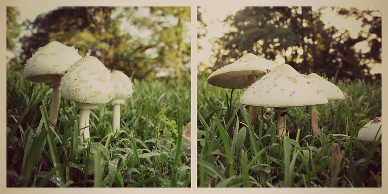 "I saw this village of mushrooms on my way to work and had to get a few shots.  When I returned home, Dave said he was going to mow them down, so I took a few more shots.  I love the way they ""bloomed."""