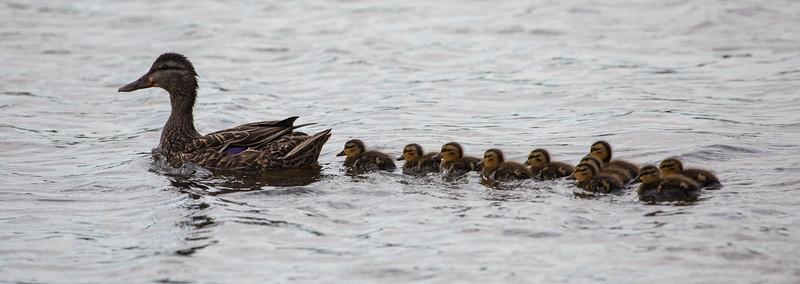 2020.06.09 - Ducks