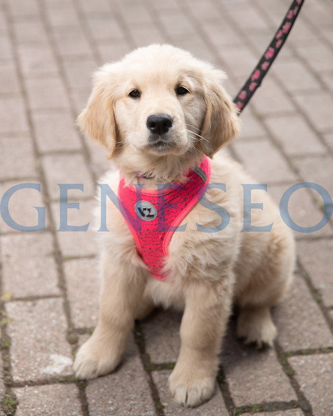 Sadie, Golden Retriever Puppy on the Green