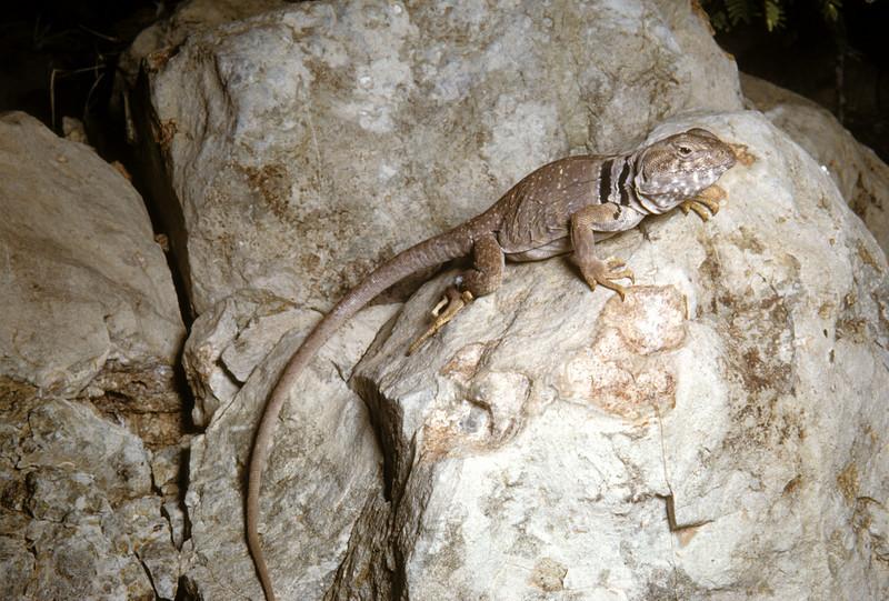 Eastern Collared Lizard (Crotaphytus collaris) Big Bend National Park, TX, 1958