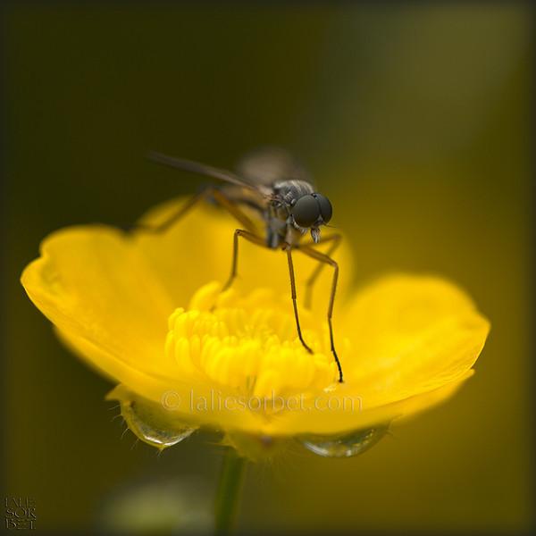 Fly and buttercup - Bourgogne - France. Mouche et bouton d'or. Bourgogne - France.