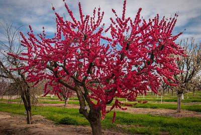 Red Baron Peach (Prunus persica)