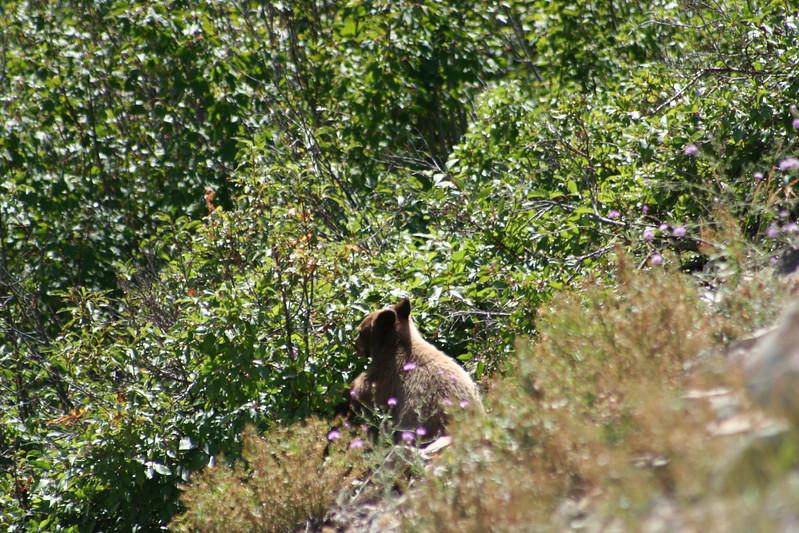 20110828 - 053 - GNP - Bear Cub Along Road By Many Glacier Hotel.JPG