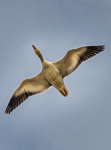 Snow Goose Above