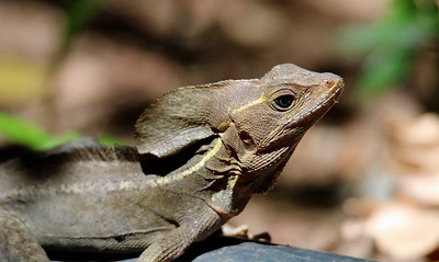 Common (Brown/Striped) Basilisk