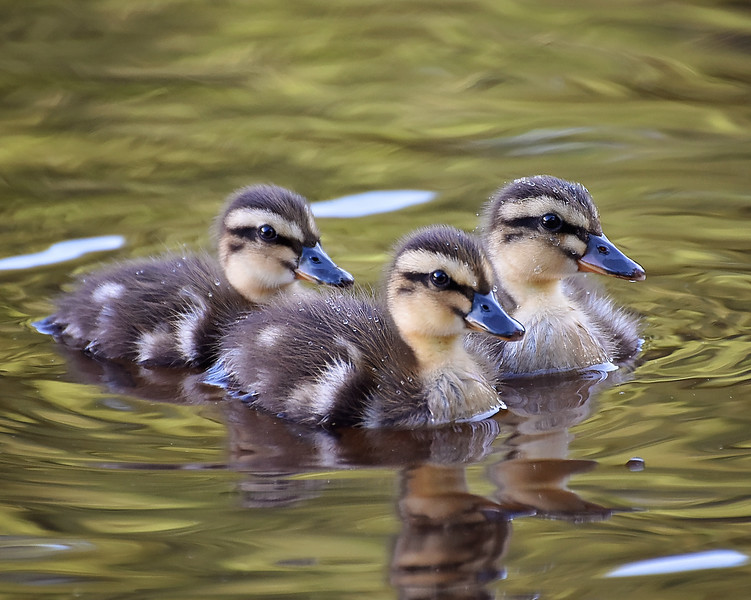 """D"" is for...Ducklings!!"