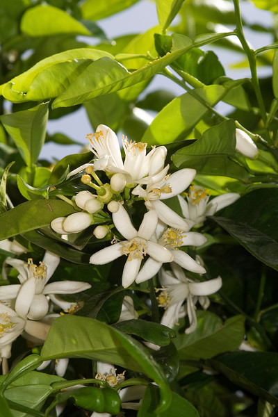 H-Bahai Garden Orange Blossoms.jpg