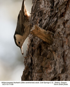 White-breasted Nuthatch A71189.jpg