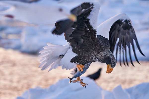 Eagles Catching Fish Japan 2019