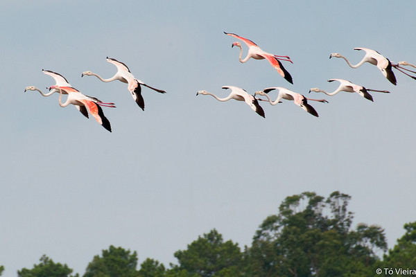 Flamingos na Lagoa de Óbidos