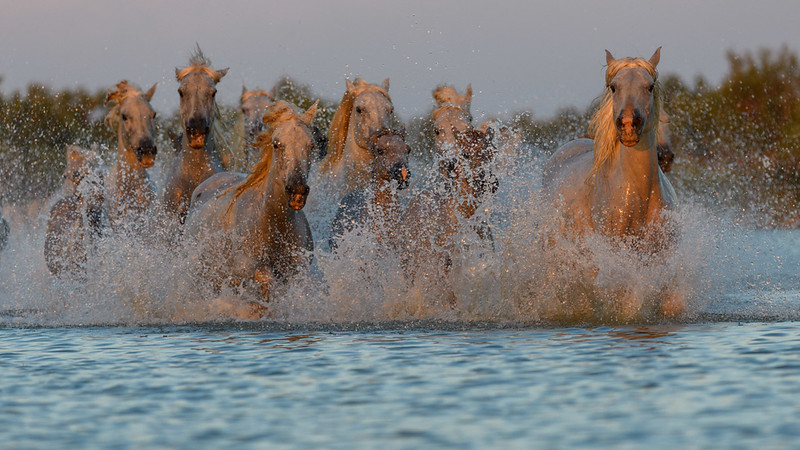 Splashing herd of Camrague White Horses.