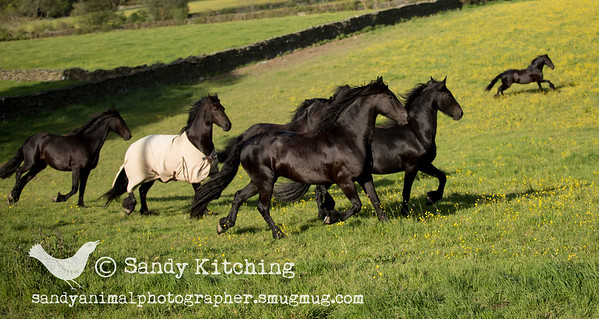 Field of Friesians Jun 2015