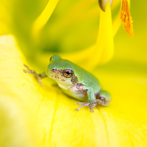 Tree frog on Golden Mint