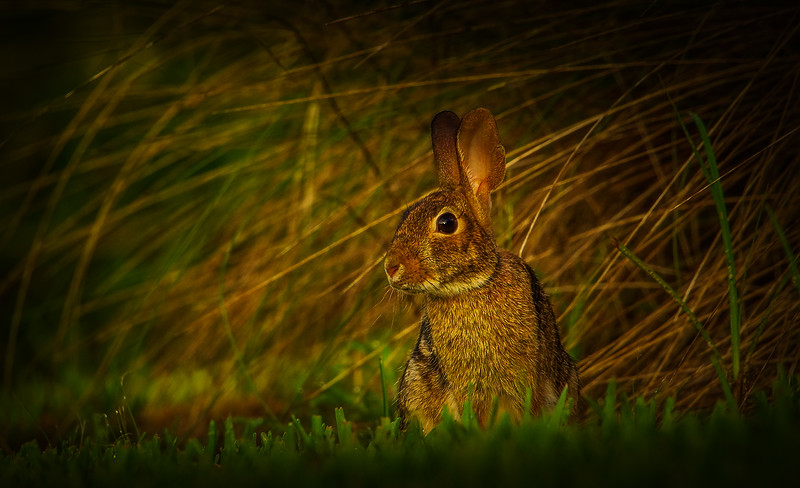 Florida Marsh Rabbit - 11.jpg