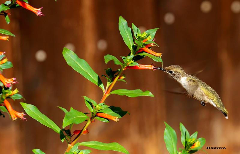 Hummingbird 6-14-15 006.jpg