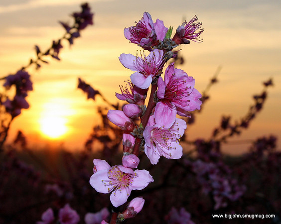 Peach blossom time in South Carolina!