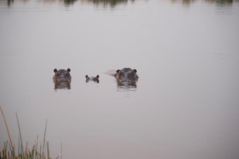 Hippopotamus, Selinda Explorer camp, Botswana