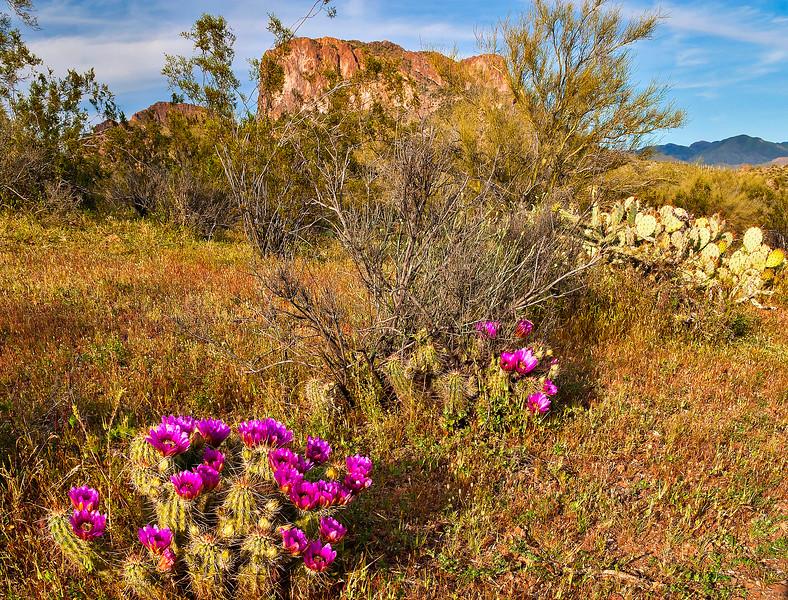 359 Beavertail Cactus