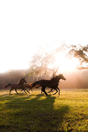 Hennessey Arabians