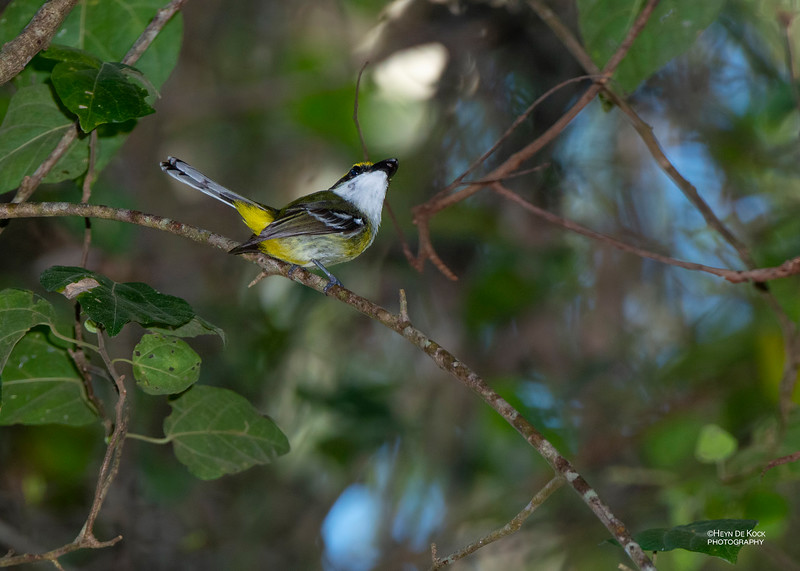 Yellow-breasted Boatbill, Julatten, QLD, Dec 2014-1.jpg