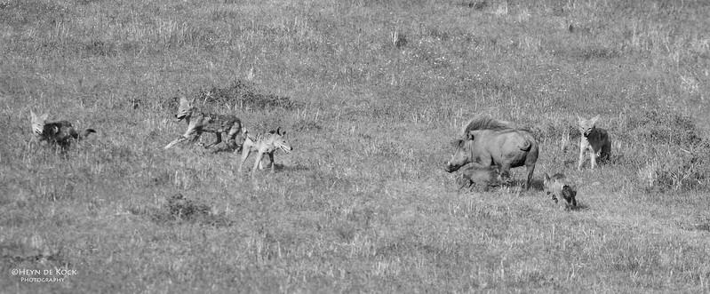 Warthog & Jackal saga, Addo Elephant NP, EC, SA, Dec 2013-1bw.jpg