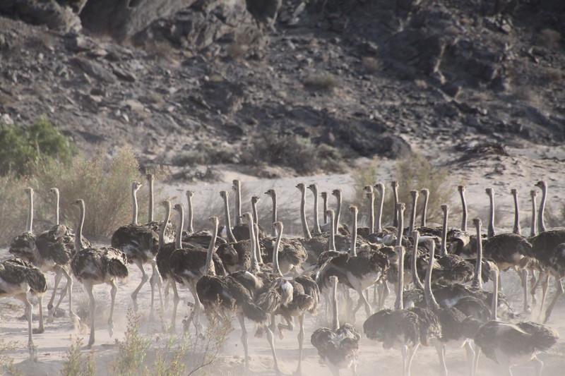 Stampeding ostrich duststorm