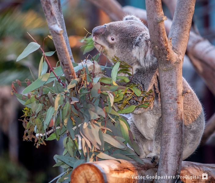 Koalafornia-13.jpg