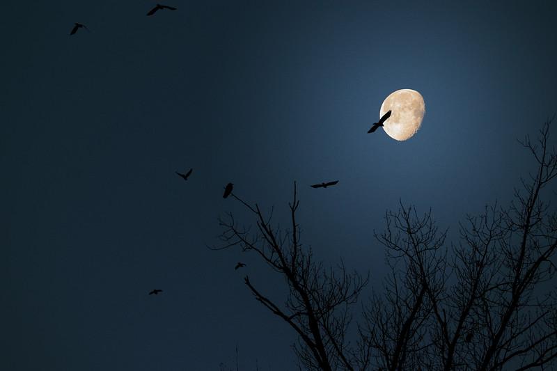 4.4.18 - Prairie Creek Marina: Fish Crows on the wing.