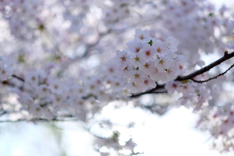 Namsan_Cherry_Blossoms_PhotoWalk-0010.jpg