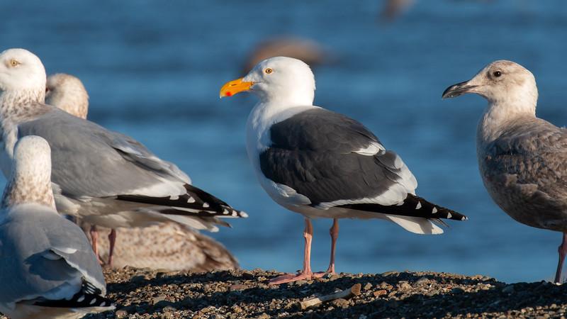 Western Gull - Adult