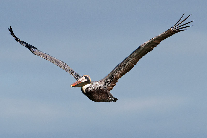 Pelican - Brown - Lighthouse Point - Sanibel Island, FL - 01