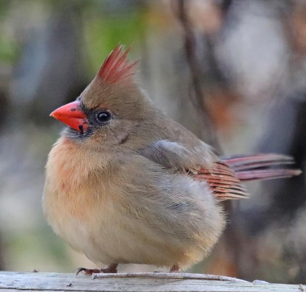 Cardinal 70