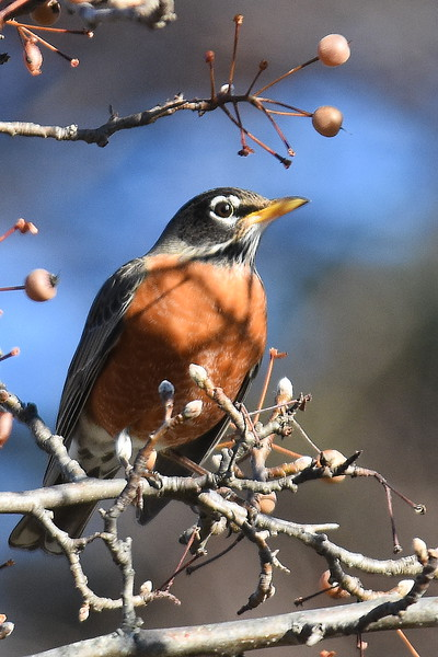 #1336  American Robin in crabapple tree