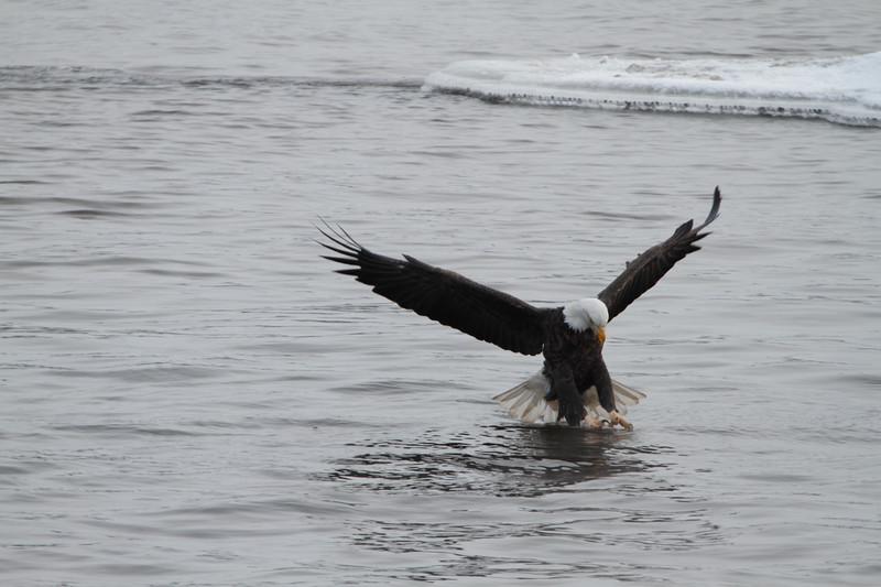 Loc-n-Dam 14-Eagles-Jan 2011_0021.jpg